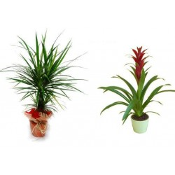 Plant Dracaena οr Gusmania Plant